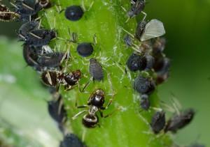 Ameisen und Blattläuse Problem