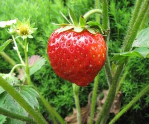 Erdbeeren aus dem KUBI