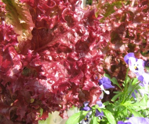 Roter Salat auf dem KUBI