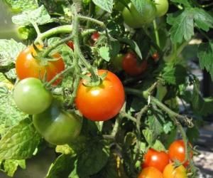 Tomaten auf dem KUBI