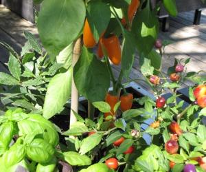 frisches Gemüse und Kräuter auf der Terrasse