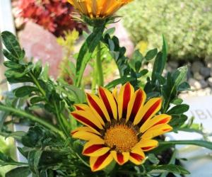 KUBI Mittagsgold pflanzen, Standort Hochbeet Steingarten